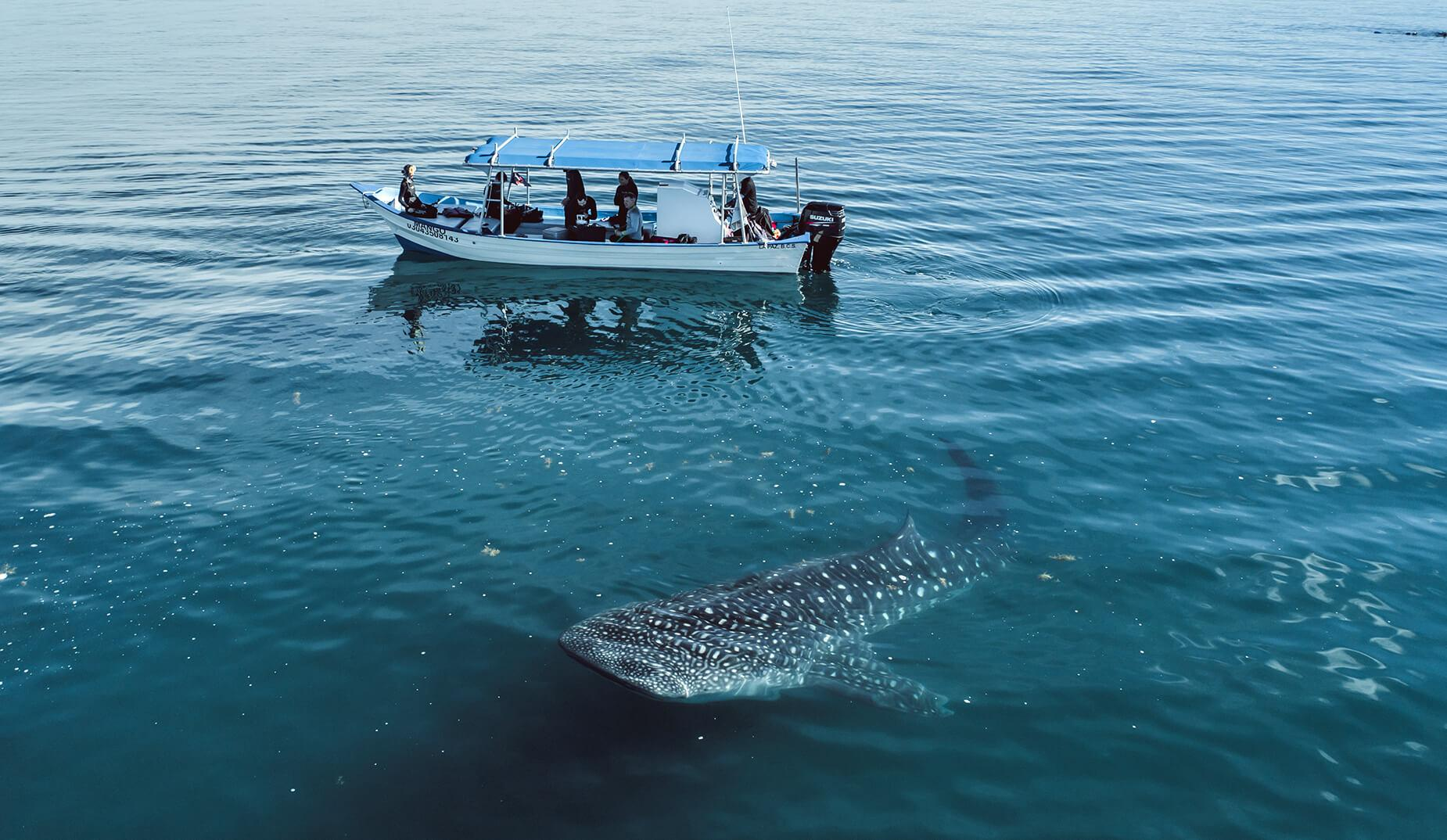 Whale sharks feed in the waters off of La Paz, Mexico. © Slater Moore