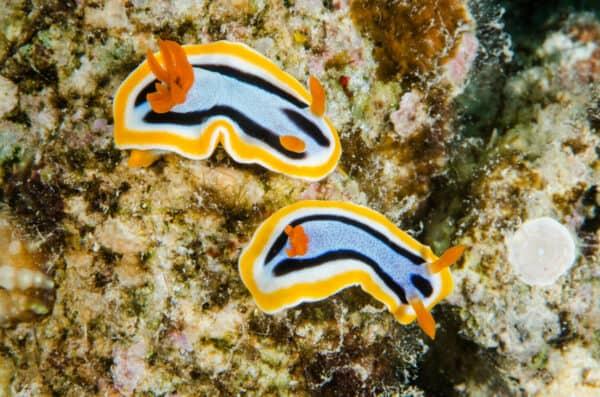 Anna's chromodoris nudibranchs