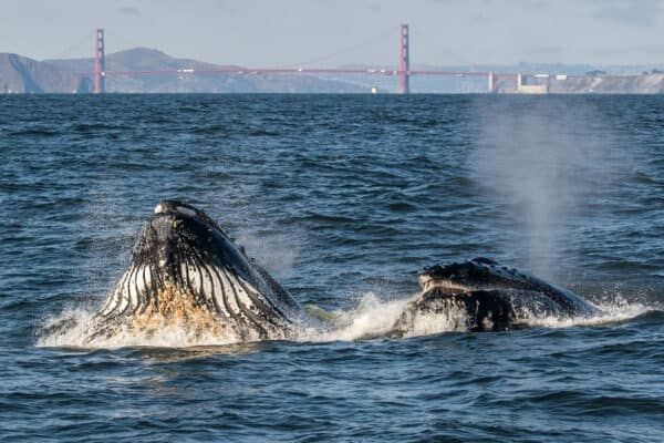 Whales near the Golden Gate Bridge