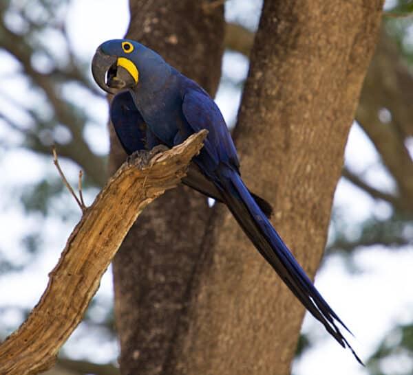 Hyacinth Macaw pantanal brazil