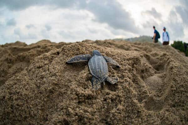 Baby Turtle Climbing