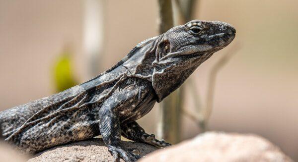 Baja California Spiny tailed iguana