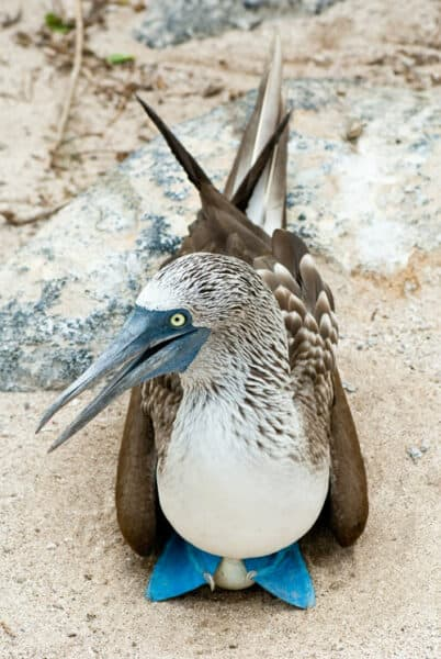 blue footed booby in Galapagos
