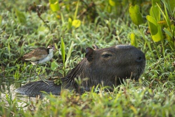 capybara and wattled jacana