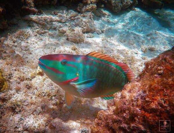 stoplight parrotfish