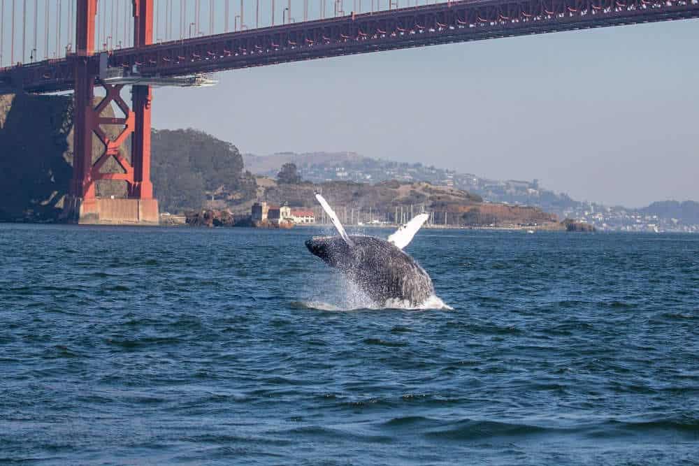 Farallon Islands Whale Breaching