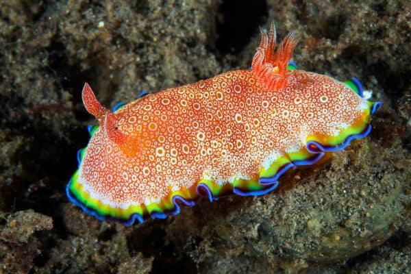 sea slug Indonesia