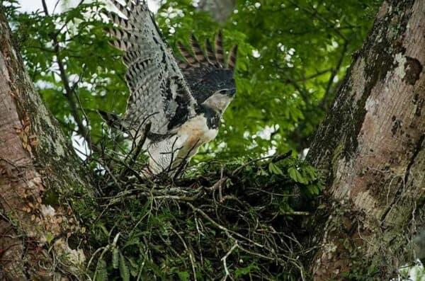 Harpy Eagle in Guyana