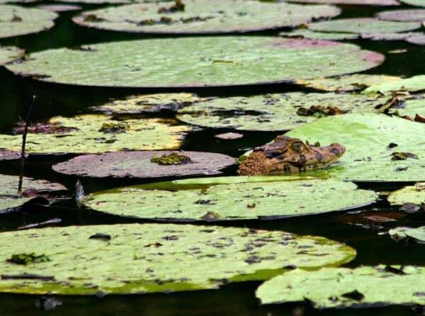 black caiman in Guyana amazon