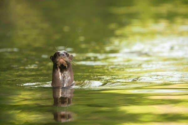 Giant River Otter in Guyana