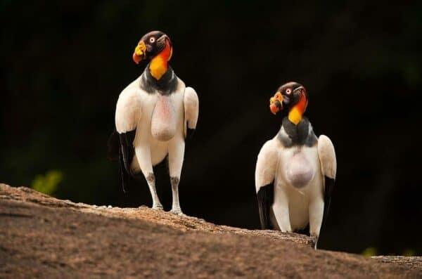 King Vultures in Guyana
