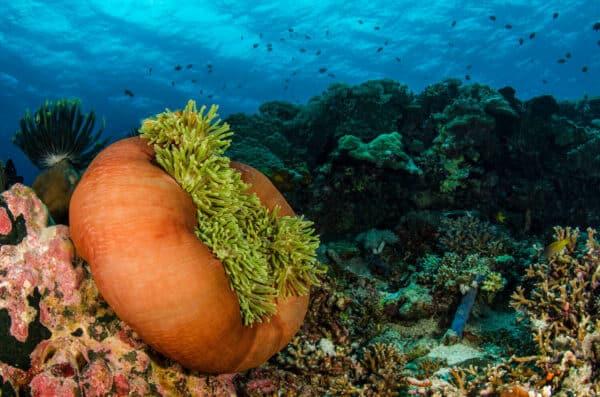 Ritteri anemone on Indonesian reef