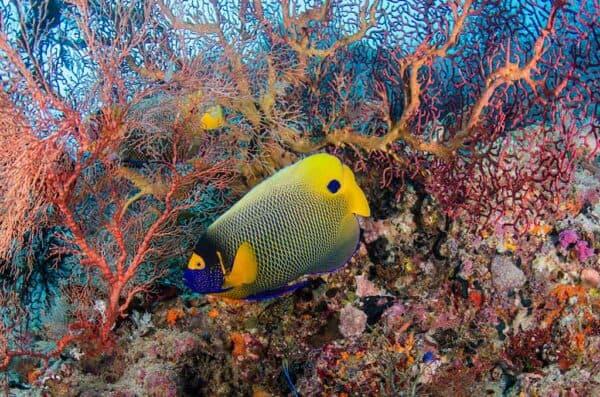 Yellow mask angelfish Indonesia