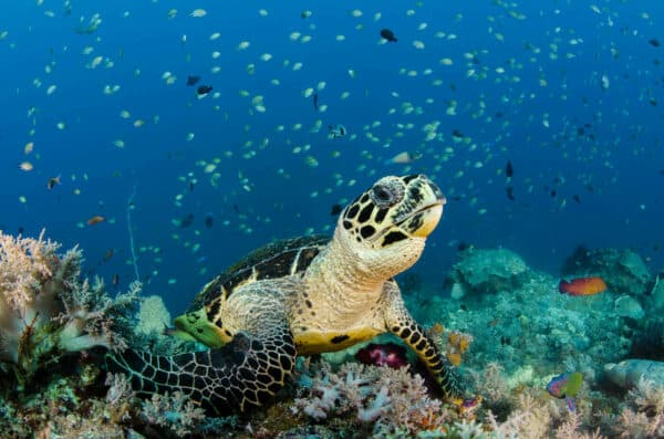 Sea turtle in indonesia