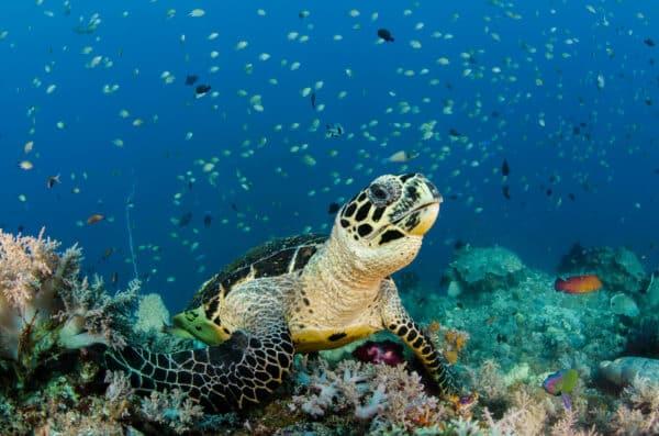 hawksbill turtle on reef