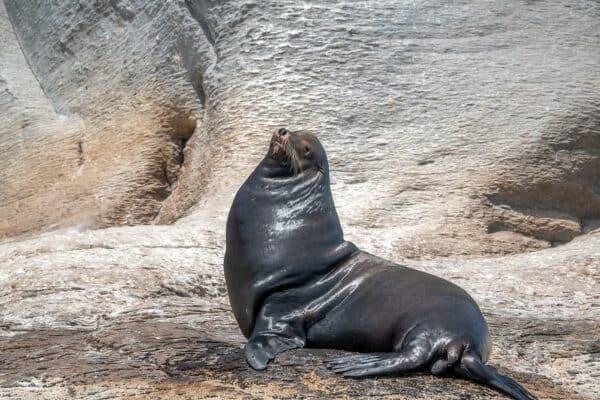 sea lion isla coronado