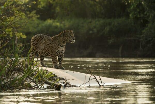 male jaguar pantanal