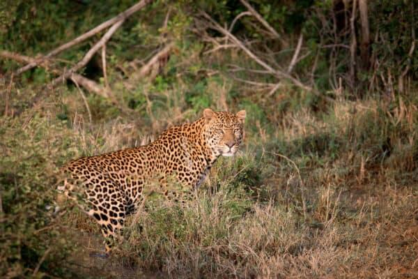 A leopard in Kenya