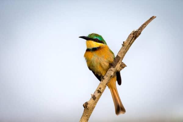 A Little Bee-eater bird