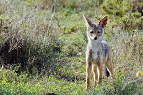 black-backed jackal in Kenya
