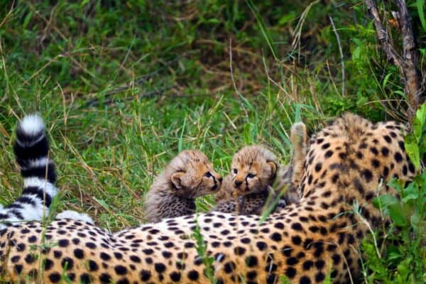 Cheetah cubs and mother in Kenya