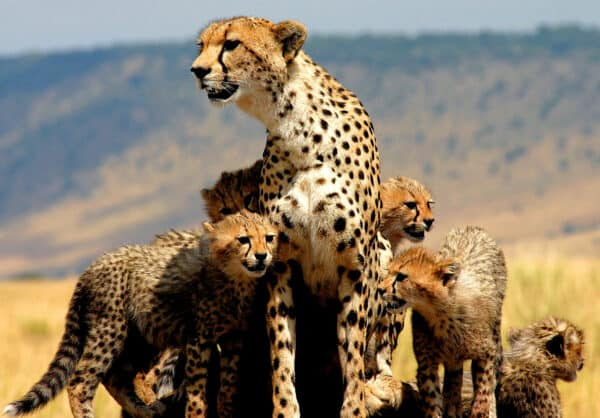 A cheetah mother and cubs in kenya