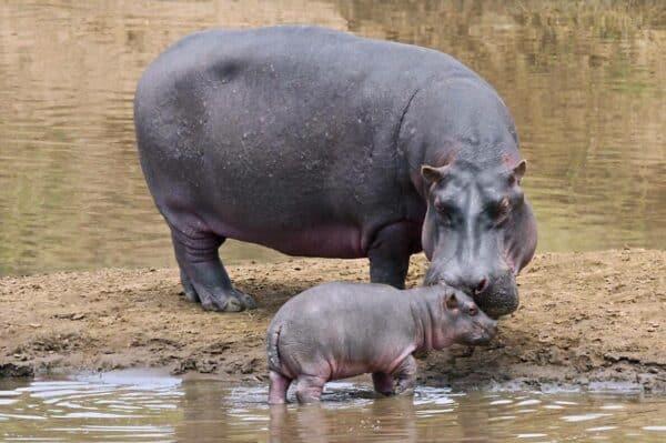 Hippos on the Mara River Kenya