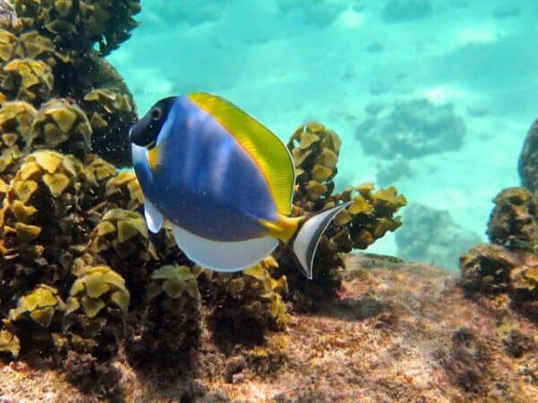 A surgeonfish on a coral reef