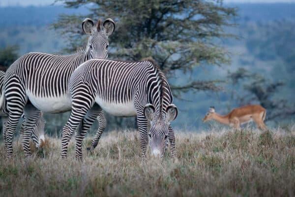 Grevys zebras in Kenya