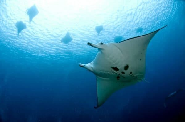 manta rays in Solomon Islands
