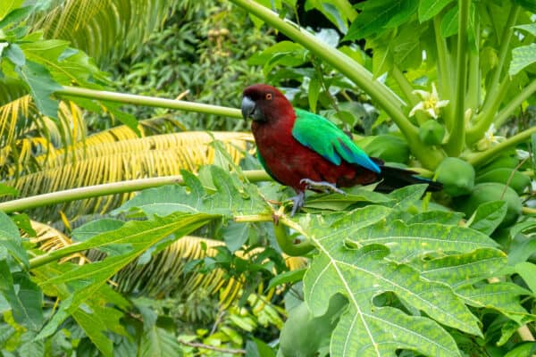 Red-shining Parrot