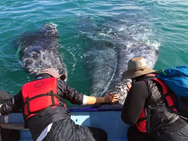 gray whale encounter in baja