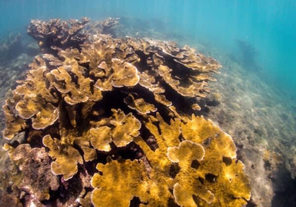 Elkhorn coral puerto rico