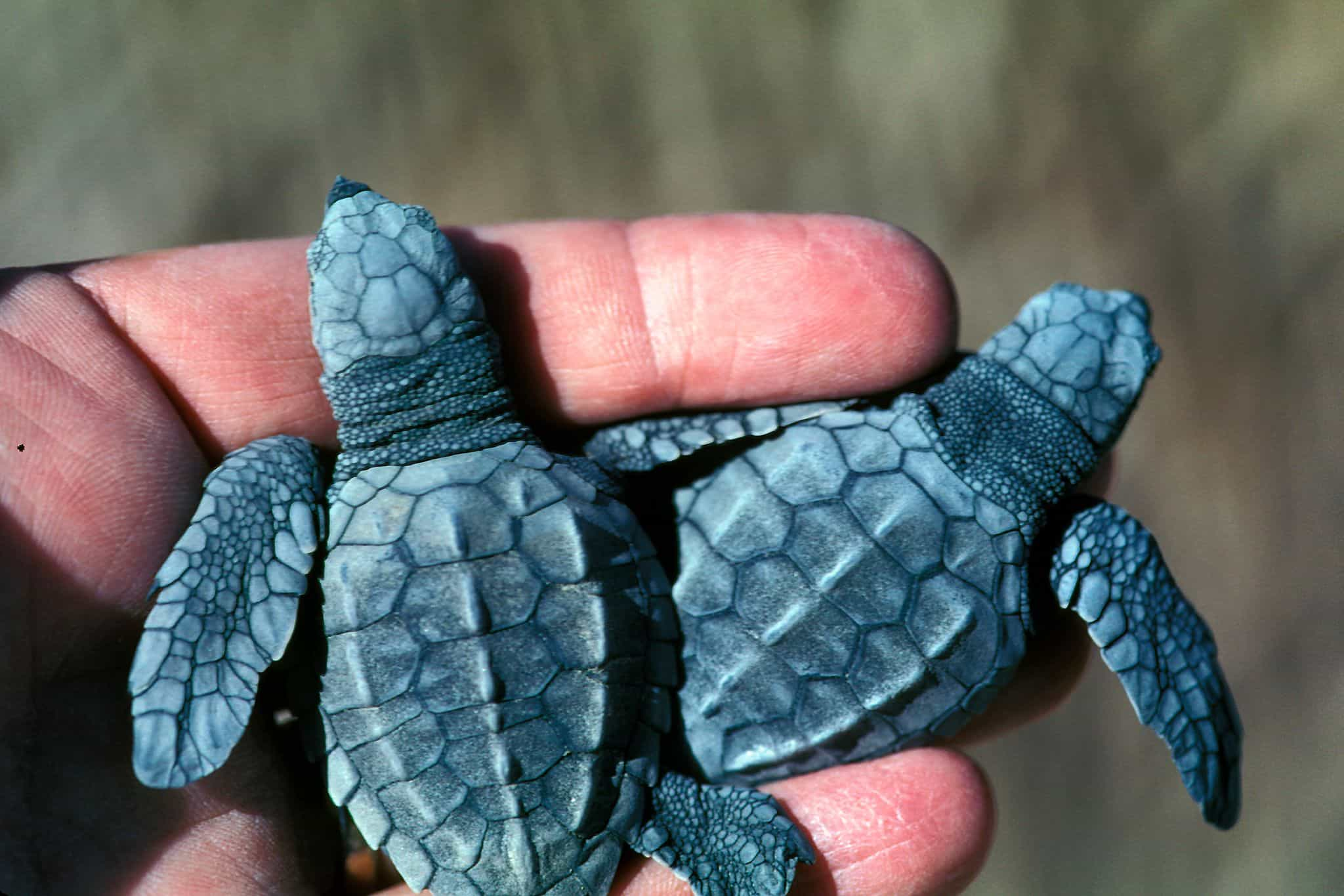 Two Baby Turtles