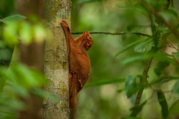 flying squirrel in Borneo