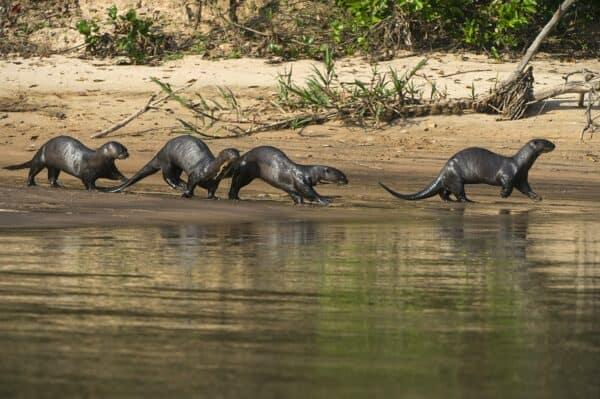 giant river otters pantanal
