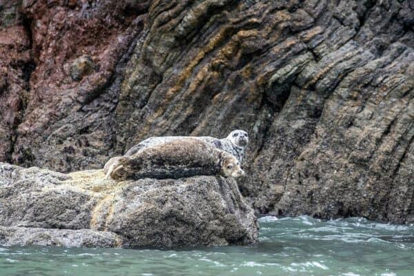 Harbor seals at Point Bonita