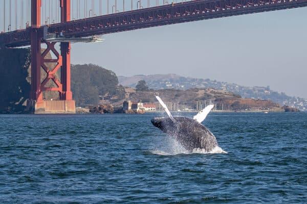 humpback breaching beneath golden gate bridge