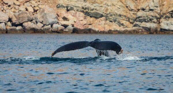 humpback whale in the Sea of Cortez