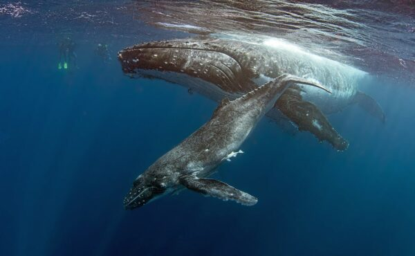 swimming with humpback whale mother and calf