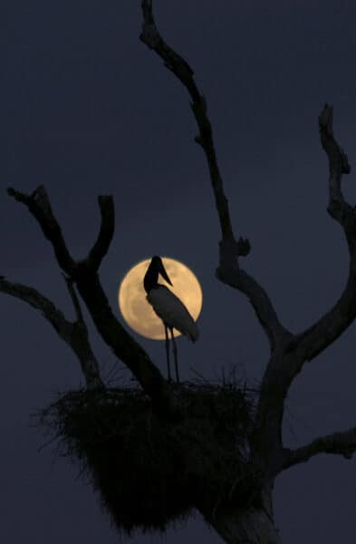 Jabiru stork Brazil