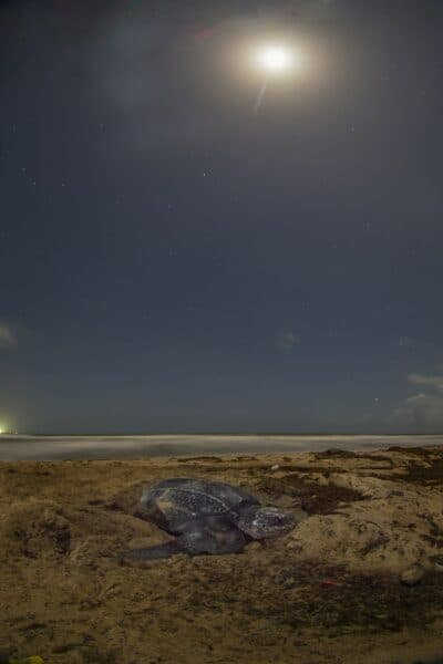 sea turtle nesting under moonlight