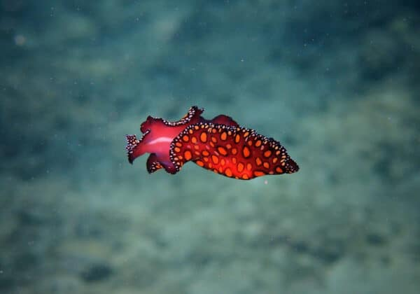 leopard sea slug