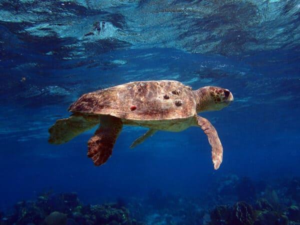 Loggerhead turtle belize