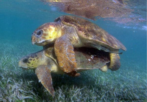 sea turtles in Belize
