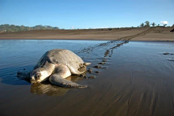 sea turtle in costa rica