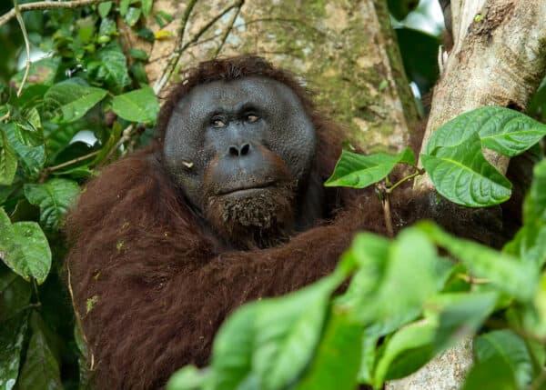 wild orangutan in Borneo