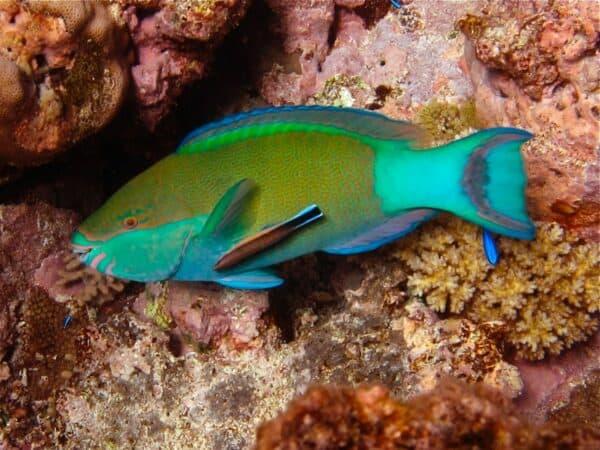 parrotfish in Fiji