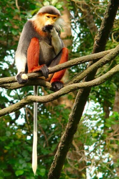 red-shanked-douc-langur