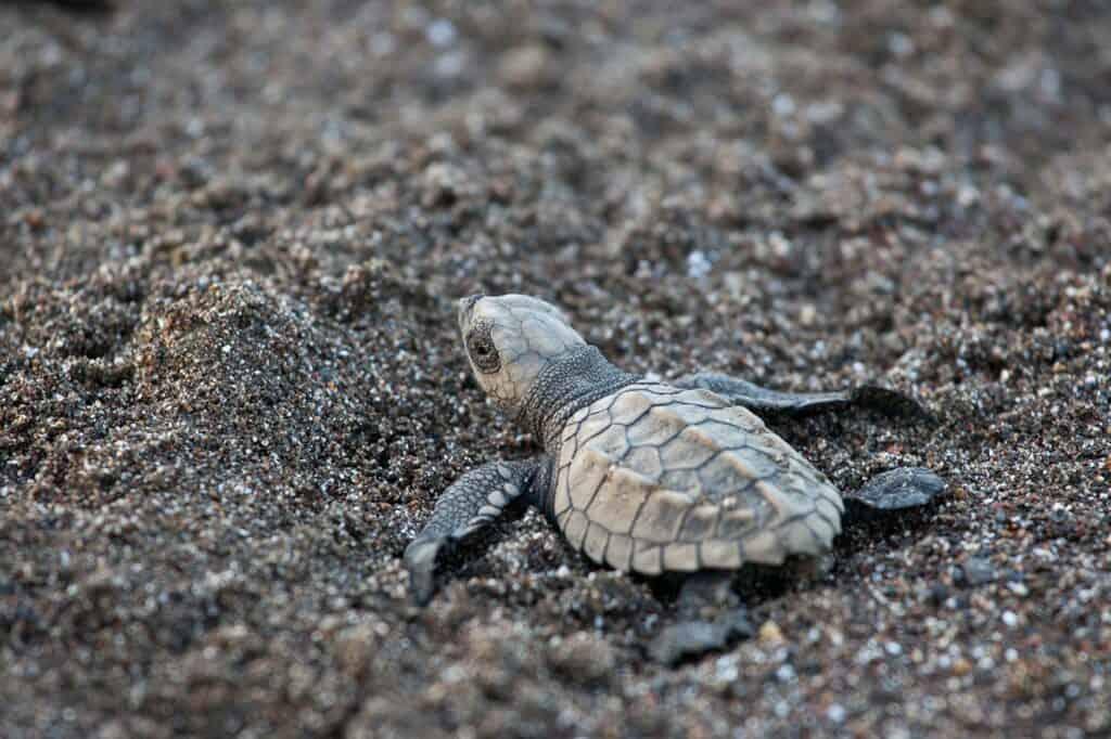 olive ridley sea turtle hatchling